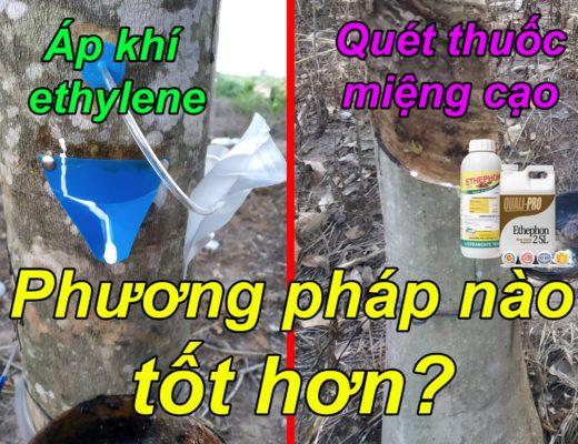 Bản chất của việc dùng thuốc kích thích mủ cao su Ethephon chính là việc đưa ethylene vào trong miệng cạo. Vậy so với phương pháp bơm trực tiếp ethylene nguyên chất vào thì cách nào là tốt nhất?