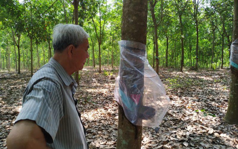 khoan lấy mủ hiệu quả ở Bình Phước